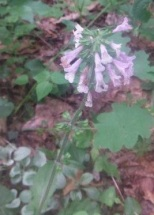 Lobelia/ Sage flower ?