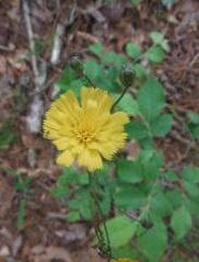Rattlesnake Weed flower