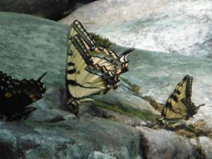 Eastern Tiger Swallowtail butterflies