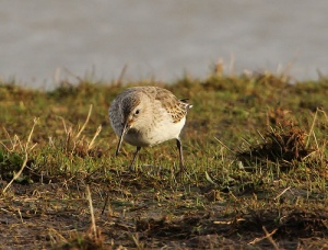 Augusta CBC's prize finding was a dunlin like this one taken by Tony Sutton and posted to Flickr