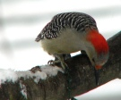 Red-bellied Woodpecker. photo credit: fishhawk, Flickr Creative Commons