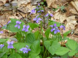 Wood Violet @ Wolf Ridge. © Carl Droms