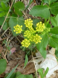 Golden Alexanders @ Wolf Ridge. © Carl Droms