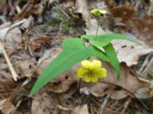 Halbert Leaved Violet @ Wold Ridge. © Carl Droms