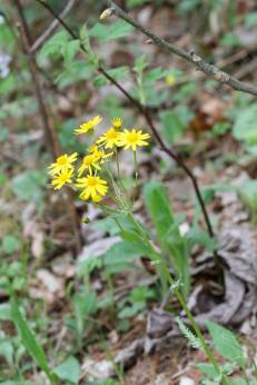Golden ragwort @ Braley Pond. © Eric Jones