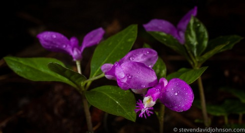 Fringed Polygala @ North River Gorge. © Steven David Johnson