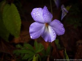 Wild Geranium @ North River Gorge. © Steven David Johnson