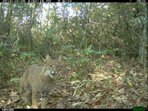 "Bobcats are frequently ""trapped"" by eMammal cameras in our area."