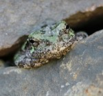Gray tree frog in pond wall.