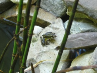 Pickerel frog on our pond wall.