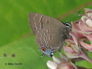 Banded hairstreak on milkweed seen on the Island Ford count July 5.