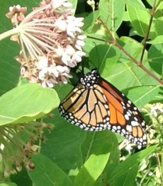 monarch.crop