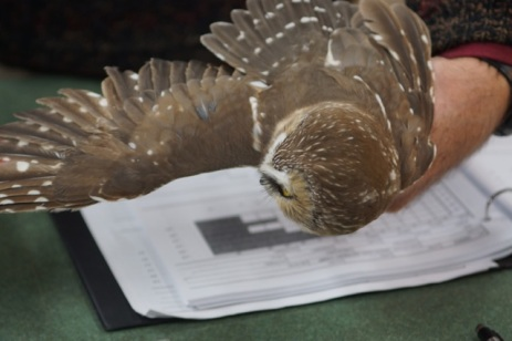 The different types of flight feathers of the Northern Saw-whet Owl are displayed.