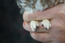 Handling the Northern Saw-whet Owl is not without its hazards.