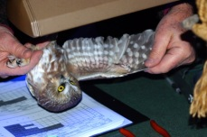 The capture data sheet is used to record specifics about captured owls. This female was previously banded about two weeks prior to its recapture. Body weight and size as determined by wing length are the manner by which sex is determined, the females being larger than the males.