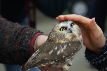 An admirer has a chance to interact with the Northern Saw-whet Owl following the formal part of the presentation.
