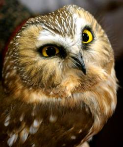Northern saw-whet owl. Photo credit Byron Huckee