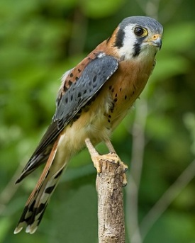 Male American kestrel. Photo by Greg Hume.