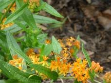 butterflyweed.7.18.15