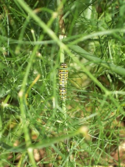 Black Swallowtail caterpillars on the fennel! It worked!
