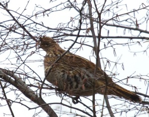 Ruffed Grouse. © Diane Lepkowski