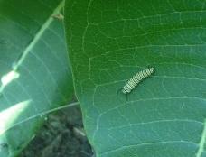 Monarch caterpillar!
