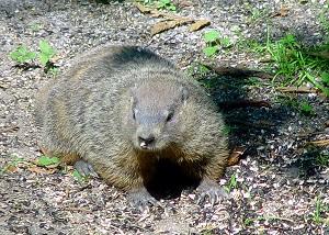 groundhog.300