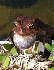 american toad.400