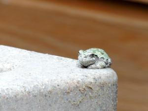 KFgray treefrog (3)