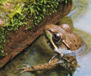 Green frog in our pond.