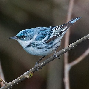 A Cerulean warbler became a star of the VSO meeting.
