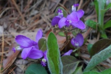 BP.polygala.cd