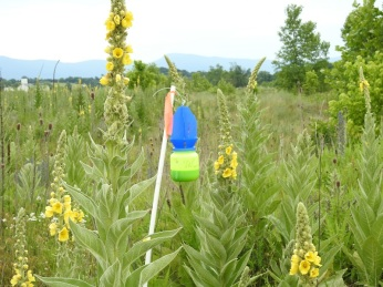 Bee trap among common mullein