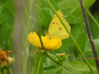 Clouded yellow butterfly at White House Farm
