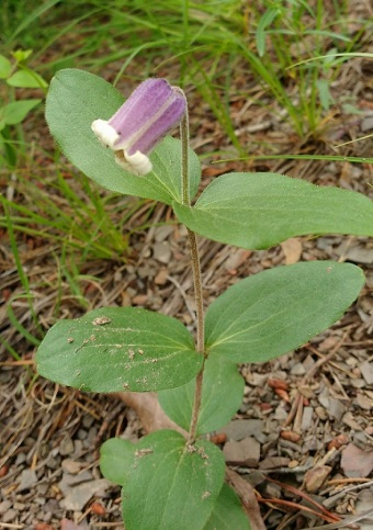 Millboro leatherflower (Clematis viticaulis) blooming. © Chip Brown