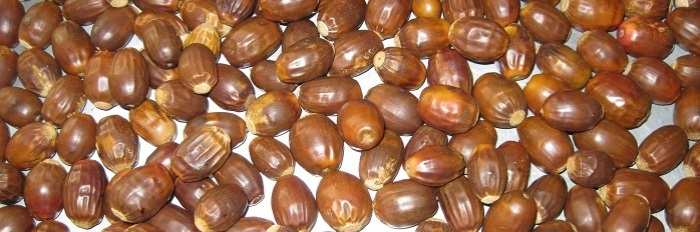 Chestnut Oak Acorns Spet 22.crop