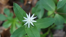 Star Chickweed by Carl Droms.