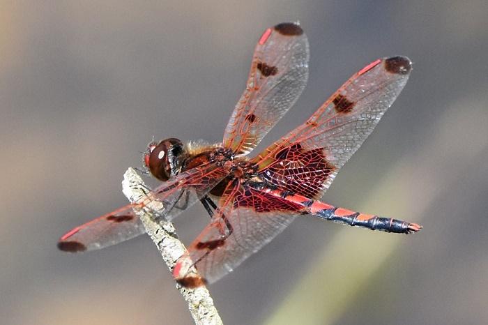 reddragonfly.d.wendelken