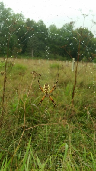Garden Spider at camera site. Photo by Peggy Plass.