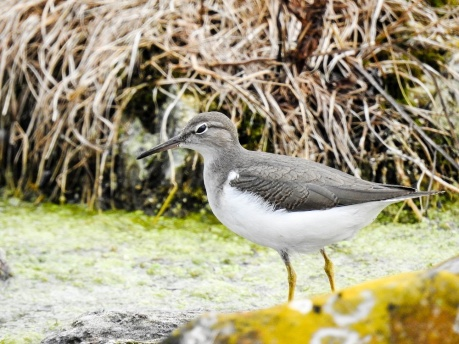 Spotted Sandpiper - adult, nonbreeding