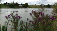 Ironweed and Cattails edging Silver Lake