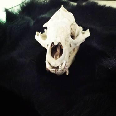 Bear skull on bear skin.9.16.17.sg