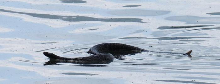 elkhornlakerattlesnake.CherylShull.crop