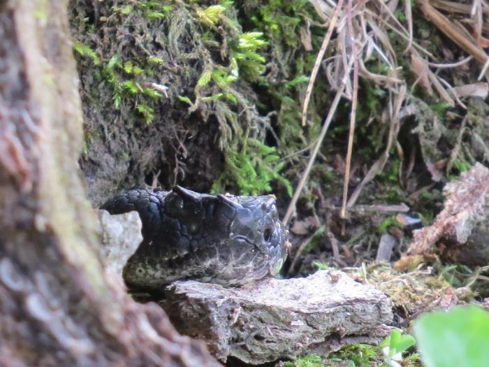 timberrattlesnake.cherylshull