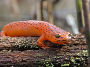 Red Salamander found and photographed by Eli Lianez. This is the Virginia State Amphibian.