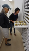 Christy showing Peggy one of many trays of bird skins stored at the VMNH. Photo by Carl Droms.